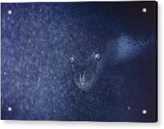 With Glowing Eyes, A Leopard Seal Peers Acrylic Print by Bill Curtsinger