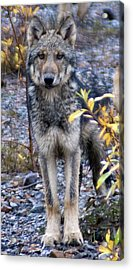 Wolf Cub In Denali Acrylic Print by Jim and Kim Shivers