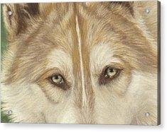 Wolf Eyes Acrylic Print by Teresa LeClerc