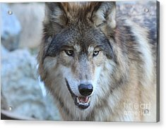 Wolf Acrylic Print by Kate Purdy