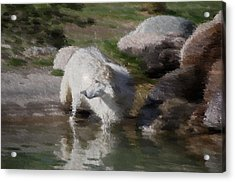 Wolf Acrylic Print by Kevin Bone