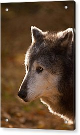 Wolf Outlined By The Sun Acrylic Print by Karol Livote