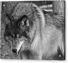 Wolf Stare Acrylic Print by Kate Purdy