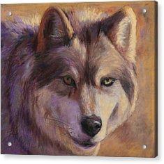 Wolf Study Acrylic Print by Billie Colson