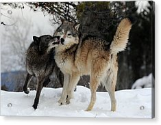 Wolves Kissing Acrylic Print by Jacki Pienta