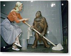 Woman Communicates With Orangutan Acrylic Print by B. A. Stewart And David S. Boyer