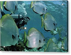 Woman Diving With School Of Batfish Acrylic Print by Sami Sarkis