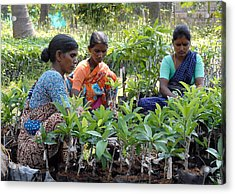Women Grafting Mango Plants Acrylic Print by Johnson Moya