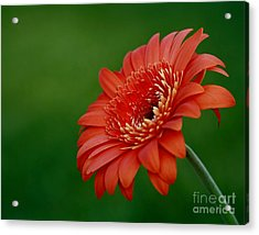 Wonder Of Nature Gerber Daisy Acrylic Print by Inspired Nature Photography Fine Art Photography