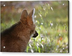 Wondering Wolf Acrylic Print by Karol Livote