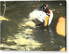 Wood Duck Playing In Pond Acrylic Print by Richard Adams