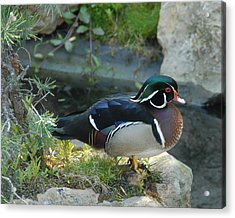 Wood Duck Acrylic Print by Scott Massey