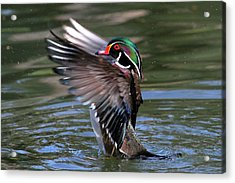 Wood Duck Stretch Acrylic Print