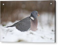 Wood Pigeon In Snow Acrylic Print by Colin Varndell