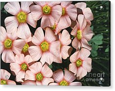 Wood Sorrel Acrylic Print by Science Source