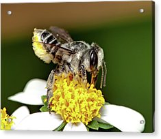Working Bee Acrylic Print by Nick  Shirghio