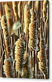 Wren And Cattails 2 Acrylic Print