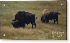 Wyoming Buffalo Acrylic Print