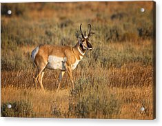 Wyoming Pronghorn Acrylic Print