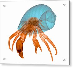 X-ray Of Hermit Crab Acrylic Print by Ted Kinsman