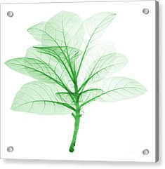 X-ray Of Tobacco Acrylic Print by Ted Kinsman