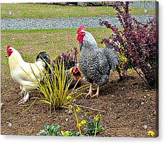 Yard Chickens Acrylic Print
