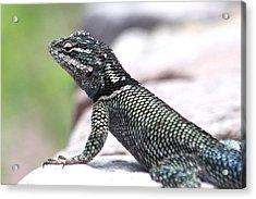 Yarrows Spiny Lizard Acrylic Print