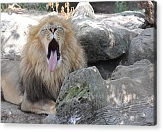 Yawning Lion 2 Acrylic Print by Becky Lodes