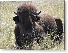 Big-haired Yearling Buffalo Acrylic Print
