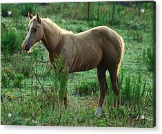 Yearling Palomino Chewing On A Stick - C0482c Acrylic Print by Paul Lyndon Phillips