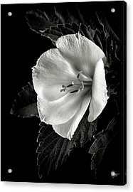 Yellow Alder In Black And White Acrylic Print
