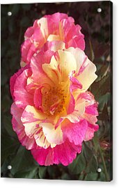 Yellow And Pink Rose Acrylic Print by Lisa Williams