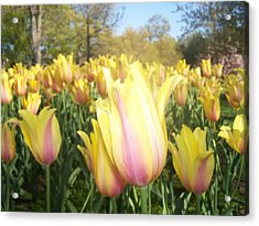 Yellow And Pink Tulips Acrylic Print