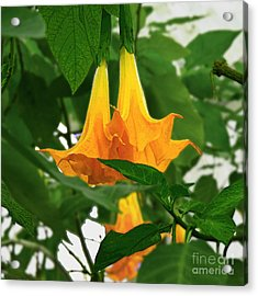 Yellow Angel's Trumpet Flower Acrylic Print