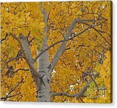 Yellow Aspen Autumn Tree Grand Teton National Park Acrylic Print