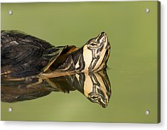 Yellow-bellied Slider Trachemys Scripta Acrylic Print by Ingo Arndt