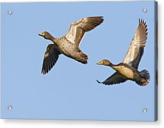 Yellow-billed Duck Anas Undulata Pair Acrylic Print by Vincent Grafhorst