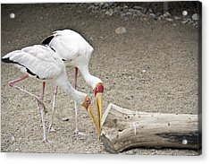 Yellow-billed Storks Acrylic Print