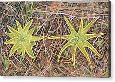 Yellow Butterwort In Habitat Acrylic Print by Scott Bennett