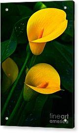 Yellow Calla Lilies Acrylic Print