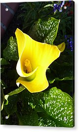 Acrylic Print featuring the photograph Yellow Calla Lily by Carla Parris