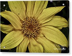 Yellow Contrast Acrylic Print by Cris Hayes