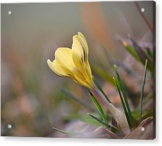 Yellow Crocus Acrylic Print