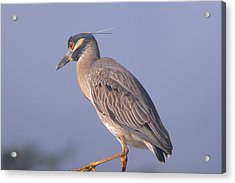 Acrylic Print featuring the photograph Yellow Crowned Night Heron by Brian Wright
