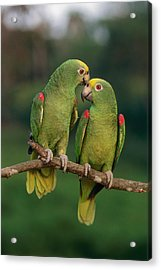 Yellow-crowned Parrot Amazona Acrylic Print by Thomas Marent