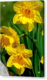 Acrylic Print featuring the photograph Yellow Daffodils And Honeybee by Kay Novy