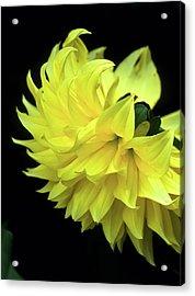 Yellow Dahlia Acrylic Print by John Brink