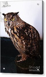 Yellow-eyed Owl Side Acrylic Print