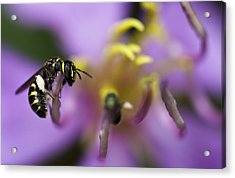 Yellow Faced Bee Acrylic Print