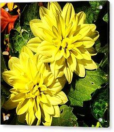 #yellow #flower #petals #closeup Acrylic Print